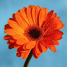 Gerbora n00103 by Gérard CHATENET - Flowers Single Flower