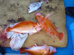 Photo: 真鯛とアカイサキが3匹!