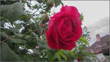 Photo: Trandafir (Rosa) - din Turda, Str. Andrei Muresanu, spatiu verde - 2018.05.14