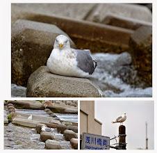 Photo: 撮影者:村山和夫 セグロカモメ タイトル:今日も出ました 観察年月日:2014年11月5日 羽数:1羽 場所:淺川/淺川橋下流堰の上 区分:行動 メッシュ:八王子6K コメント:堰の上で30分以上じっとしていました。たまに立って糞をするとまた座ります。やっと飛んだと思ったら淺川橋のポールに止まり動かず。