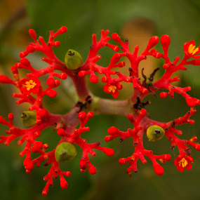 Red Flowers by Debopam Banerjee - Nature Up Close Flowers - 2011-2013