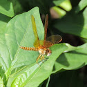 Eastern Amberwing Dragonfly (male)
