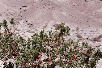 Photo: #005-Des caparis dans le désert du Néguev