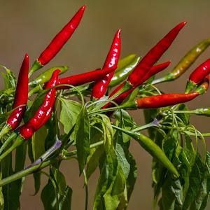 Inferno peppers NL.jpg