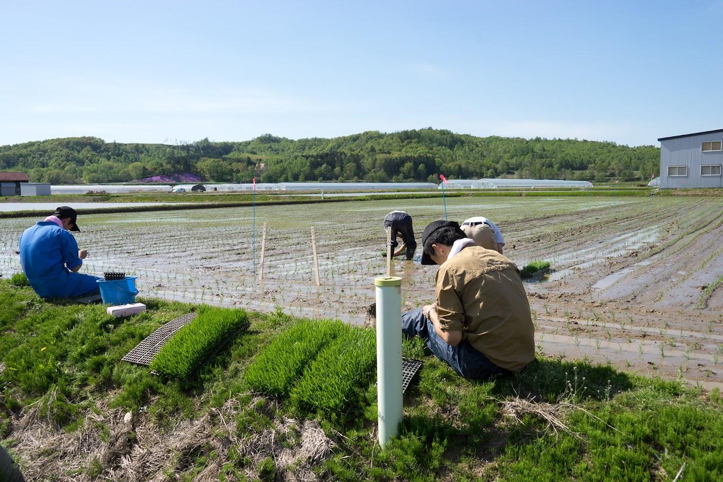 水稲生育調査の苗植え模様