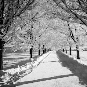 Black Maples in Snow by Craig Lybbert - Black & White Landscapes ( greenblufflanemapletreessnowfrost,  )
