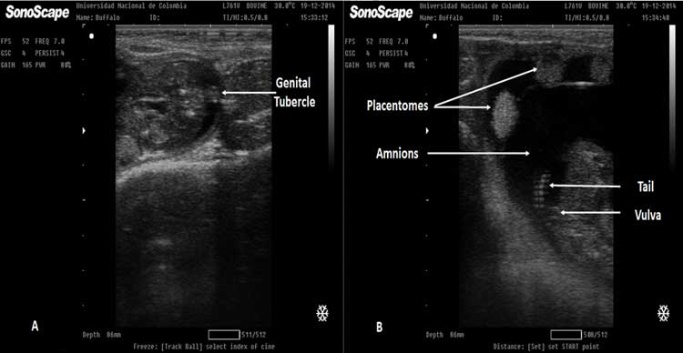 A. Ultrasonographic image of a 68 day female fetus. The genital tubercle (GT) is visible in a cross-sectional scan of the fetus at the level of the tail as a hyperechoic structure. Figure 27 B. Ultrasound of a 90 day female fetus, the amnion, and a set of placentomes are shown at the top. The echogenic image of the fetal vulva can be observed under the fetal tail.