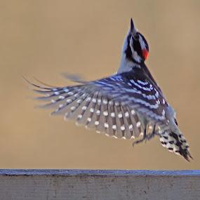 Woody's Solo by Dyane Kirkland - Animals Birds ( bird, downy woodpecker, woodpecker, motion, bird taking off,  )