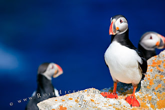 Photo: #WildlifeWednesday  Almost forgot again...Wednesday is also WildlifeWednesday by +Mike Spinak.  I love Puffins, they are so cute...till you photograph them. We were taken by a little and old fishing boat to an island of the coast of Newfoundland to photograph Puffins. It was lots of fun watching and photographing those bird from a fairly close distance - not so great what the fact that we were lying behind a rock for 6 hours and the Puffins really enjoyed flying over us and covering us with little poop bombs. But they still cute..after all.  The other photo theme I would like to add this image to is #WhateverWednesday by +Cicely Robin Laing.  And if you not sure what photo themes are on - check out my list which includes ALL photo themes on G+: http://www.rolfhickerphotography.com/blogs/all-google-plus-photo-themes.htm