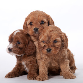 by Melanie Ayers Wells-Photography - Animals - Dogs Portraits ( puppies, dogs, pets, three, brown, melanie wells photography )