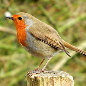 Robin in profile  by Pat Regan - Animals Birds ( bird,  )
