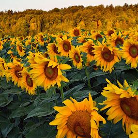 Sončnice by Bojan Kolman - Flowers Flowers in the Wild (  )