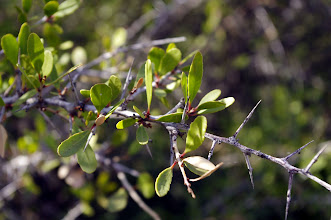 Photo: Maytenus senegalensis (Endemismo iberoafricano)