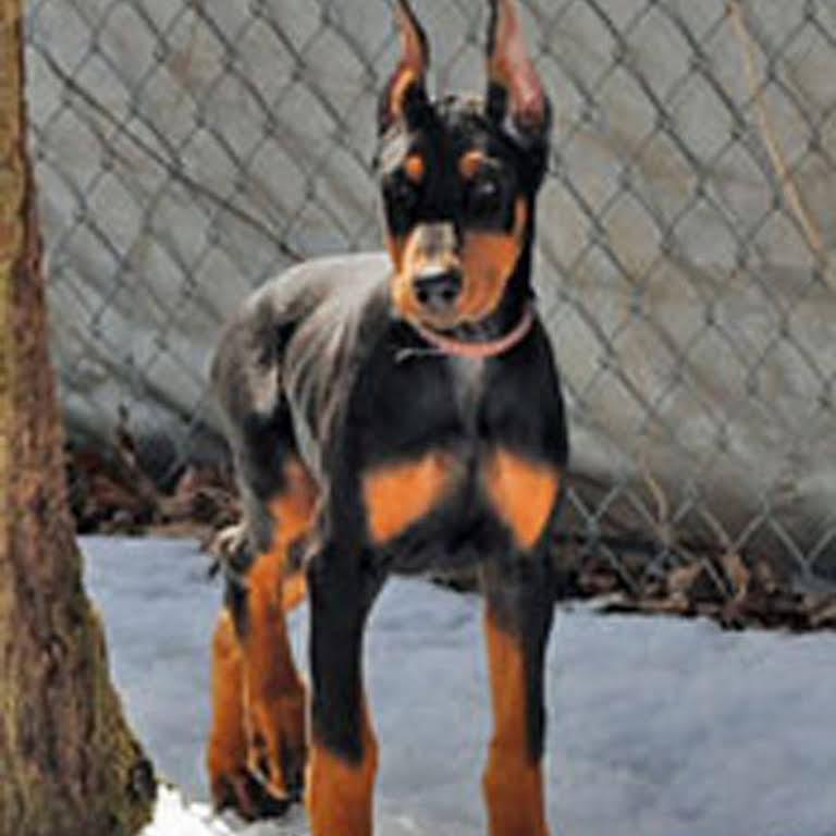 BRAVEHEART LOYALHEART DOBERMAN PINSCHERS - Dog Breeder in