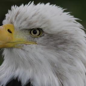 Bald Eagle by Rachel Startin - Animals Birds ( bird, bird of prey, eagle, america, bald )