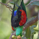 Red-Wing Parrot