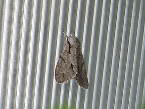 Photo: 15 Jul 13 Trench Middle Pool: This moth is either a Dark Dagger or, most likely, a Grey Dagger: these species are only separable by examination of the genitalia. (Ed Wilson)