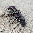 LeConte's Tiger Beetles