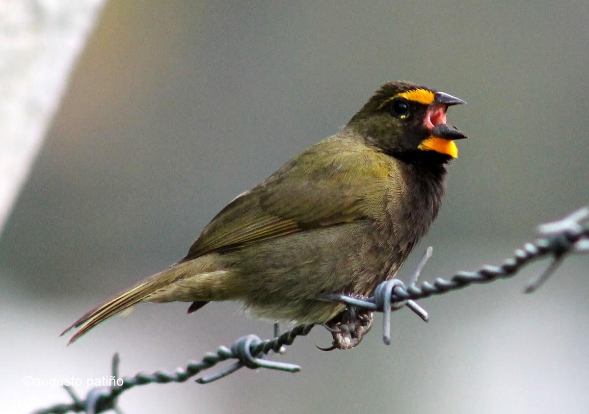 Semillero coliamarillo - Yellow-faced grassquit