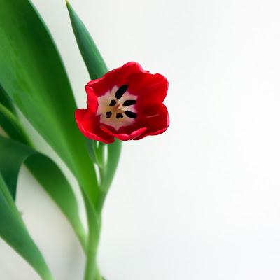 Tulips di E l i s a E n n E