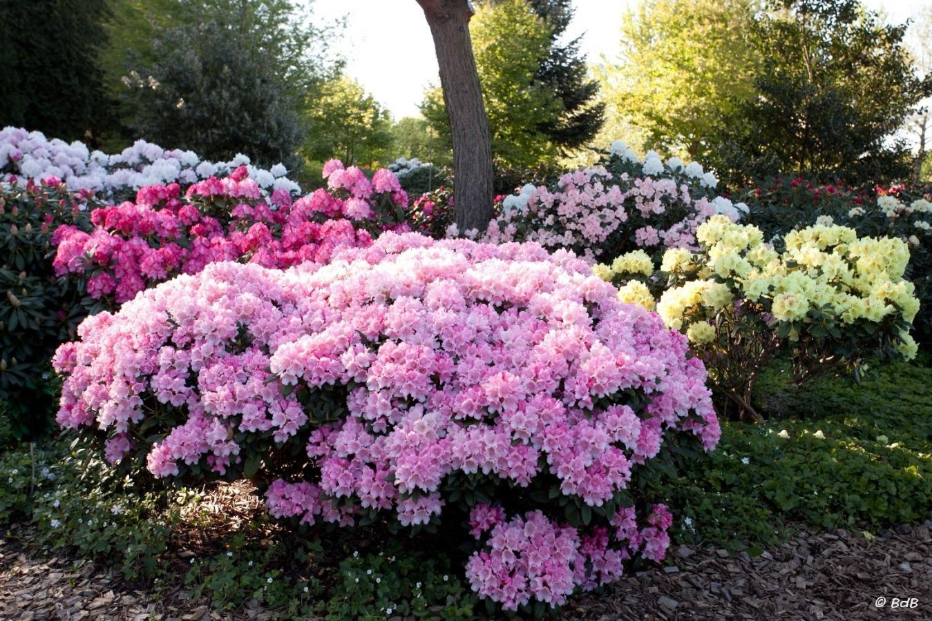 Rhodendron Garden