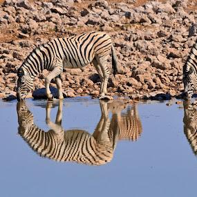 zebre by Vito Masotino - Animals Other Mammals (  )
