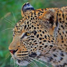 Tamboti! by Anthony Goldman - Animals Lions, Tigers & Big Cats ( leopard, predator, nature, londolozi, female, big cat, wild, wildlife,  )