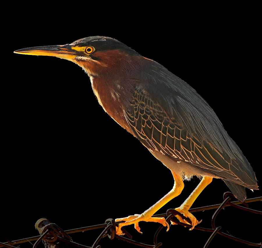 Green Back Heron by Mike Neal - Animals Birds
