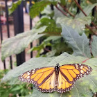 mornarch butterfly