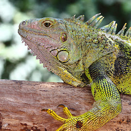 Madame by Gérard CHATENET - Animals Reptiles