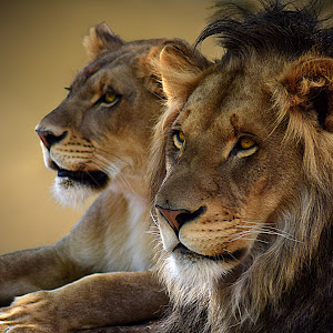 Lion Duo A5.jpg