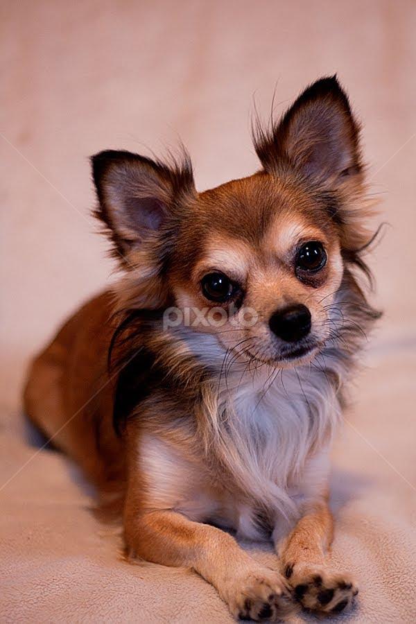 chua by Frodi Brinks - Animals - Dogs Portraits