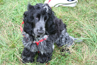 Photo: Awh! Harvey Cocker Spaniel... what a gorgeous picture of him...