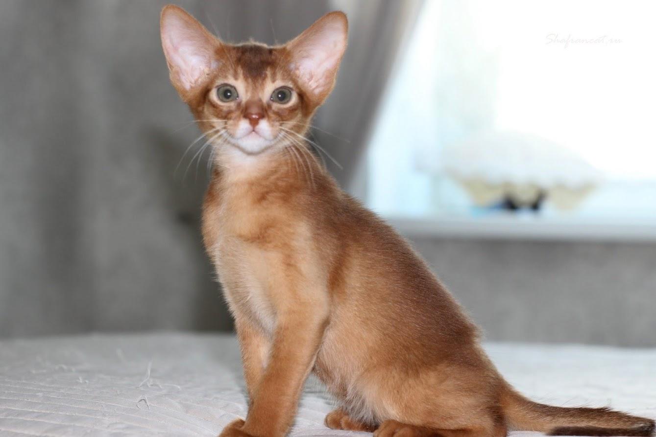 абиссинские котята казань