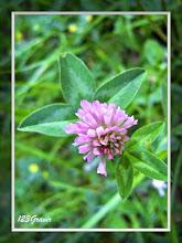 Photo: Trèfle des prés, Trifolium pratense