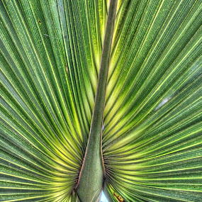 Palm Frawn by Rob Frederick - Nature Up Close Leaves & Grasses ( palmetto, bush, tree leave, palmetto bush, palm frawn, nature, green, color, food, concept )