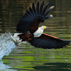 Fish eagle by Bostjan Pulko - Animals Birds ( eagle )