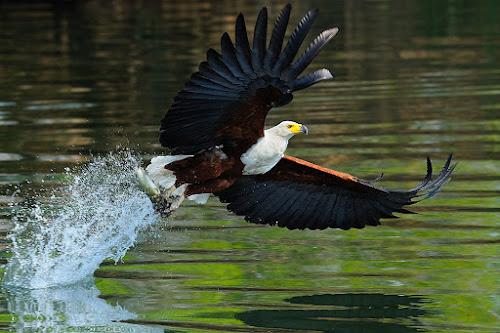 Fish eagle by Bostjan Pulko - Animals Birds ( eagle )