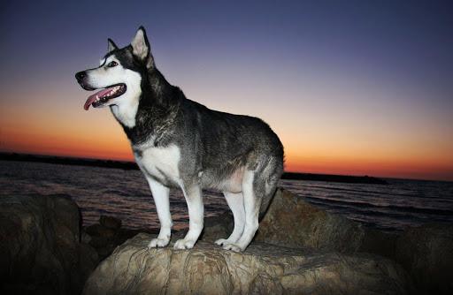 Malamute Dog Live Wallpaper