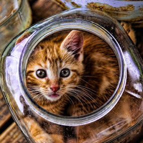 Kitten in a Jar by Eugene Linzy - Animals - Cats Playing ( playing, cat, kitten, cat eyes, jar,  )