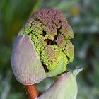 Villous deadly carrot buds; Zumillo