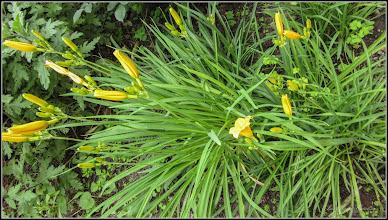 Photo: Crisnul de  zi (Hemerocallis) - din Turda, Calea Victoriei, Bloc B 15, spatiu verde - 2019.06.09