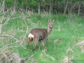 Photo: Roe Deer