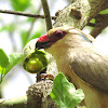 Blue-napped Mousebird