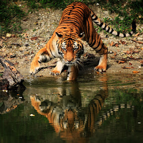 Kung Fu Tiger :D by Perak Man - Animals Other Mammals