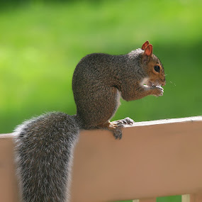 Skippy by BethSheba Ashe - Animals Other Mammals ( squirrel, full tail, profile, garden, eating, fence, summer )