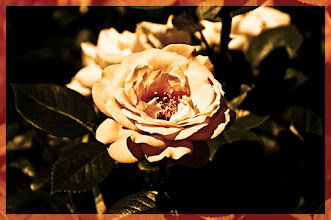 Photo: a rose  my litle contributionfor +Tamara Pruessnerand for #floralfriday by +FloralFriday  Fey - Romeo & Juliet  have a wonderful day!