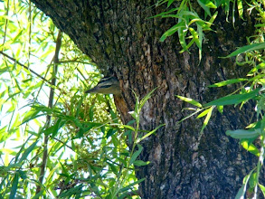 Photo: Our resident Green bellied male baby woodpecker