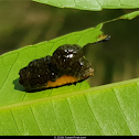 Leaf Beetle Larva with Fecal Shield