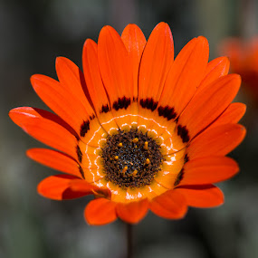 Daisy by Martin Oosthuizen - Nature Up Close Flowers - 2011-2013 ( orange, daisy, flower, petal, close )